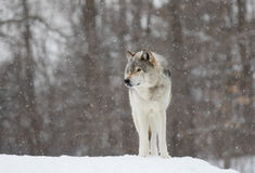 Timber Wolf close-up in winter snow Royalty Free Stock Photo