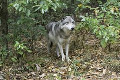 Timber wolf coming out of woods. In search of food or remaining pack Stock Photos