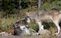 Timber Wolf Confrontation Royalty Free Stock Photos