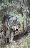 Timber Wolf Creeps. Timber Wolf (Canis lupus) creeps through brush - captive animal Royalty Free Stock Photography