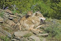 Timber wolf and cubs. Timber wolf with her cubs at Montana den site Stock Photos