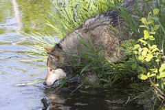 Timber wolf drinking at stream Stock Image