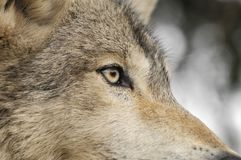Timber Wolf Eye Stock Photos