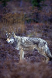 Timber wolf in fall colors (Canis lupus), Alaska, Denali Nationa Stock Images