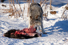Timber wolf feeding off of a carcass in the snow Stock Photo