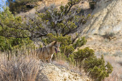 Timber wolf by fir tree Stock Photography