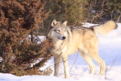 Timber wolf by fir tree Royalty Free Stock Photography