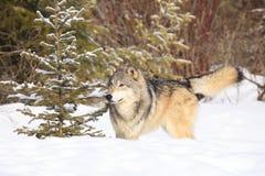 Timber wolf by fir tree Stock Photos