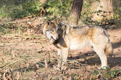 Timber wolf in forest Royalty Free Stock Photo