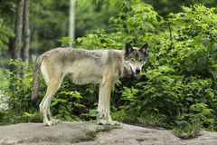 A Timber wolf in a forest Royalty Free Stock Photo