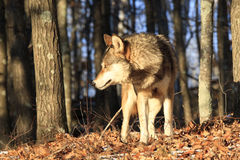 Timber wolf in golden sunlight Stock Image