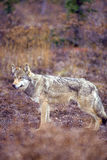 Timber wolf or gray wolf Royalty Free Stock Image