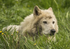 Timber wolf. In a green grass Stock Photography
