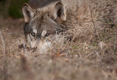 Timber Wolf Hidden in the Grass Closeup Stock Photography