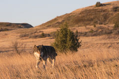 Timber wolf with hills in the background Stock Image