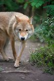 Wolf hunting in the forest Royalty Free Stock Photo