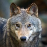 Wolf hunting in the forest Stock Image