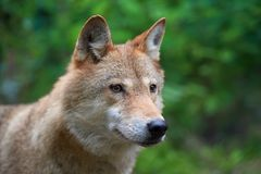 Wolf hunting in the forest Stock Images