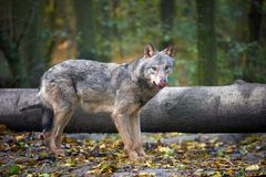 Wolf hunting in the forest Royalty Free Stock Photos