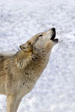 Timber Wolf II. Timber Wolf (Canis lupus lycaon) howling Royalty Free Stock Image