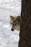 Timber Wolf III Royalty Free Stock Photos