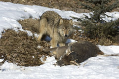 Timber wolf with kill. Wolf protecting his prey in winter Royalty Free Stock Photos