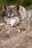 Timber Wolf Looks from Behind Grasses Royalty Free Stock Images