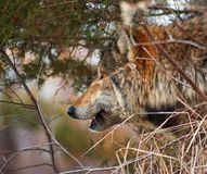 Timber Wolf Looks Out - Brush Stock Photos