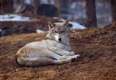 Timber Wolf lying down. And watching stock images