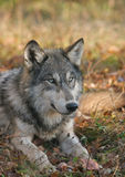 Timber wolf lying down Royalty Free Stock Photos