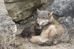 Timber wolf mother and pups at den Royalty Free Stock Images