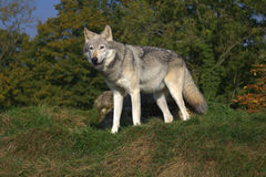 Timber wolf standing in front of trees Stock Photos