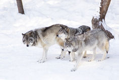 Timber wolf pack against white snow covered field Stock Photo