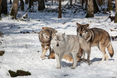 Timber Wolf Pack In Winter Forest