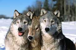 Timber wolf pack portrait Royalty Free Stock Photo