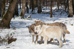 Timber wolf pack in winter forest Royalty Free Stock Photo