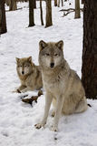 Timber Wolf Pair. Timber Wolf (Canis lupus lycaon) pair in snow Royalty Free Stock Photography