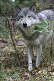 Timber wolf peeking from brushy wooded area. Timber wolf in wooded area - vertical format - wolf is coming out from wooded brushy area Royalty Free Stock Photo