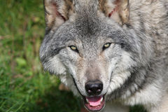 Timber wolf portrait Royalty Free Stock Photo