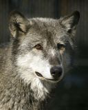 Timber Wolf Portrait. Timber wolf (Canis Lupus) stares out at the viewer royalty free stock image
