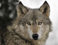 Free Timber Wolf Portrait Royalty Free Stock Image - 9065736