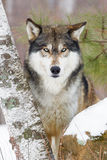 Timber wolf portrait. By birch tree Stock Photography