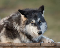Timber wolf portrait. Timber wolf (Canus lupis) portrait against green background Stock Photo