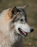 Timber wolf portrait. Timber wolf (Canus lupis) closeup profile portrait Stock Photography