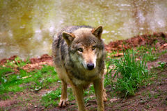 Timber Wolf Stock Photo