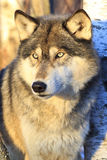 Timber wolf portrait. With last of golden light on him Stock Photos