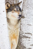 Timber wolf portrait. Looking to his side Stock Photography