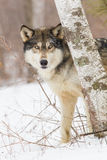 Timber wolf portrait. By tree Royalty Free Stock Images