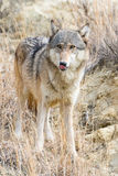 Timber wolf in prairie grass Stock Photo