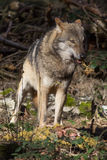 Timber wolf with prey. Timber wolf feeding his prey in the forest Royalty Free Stock Image
